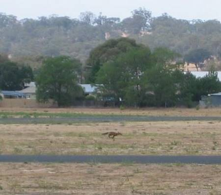 Fox on the run on Cootamundra airfield